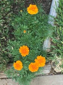 Orange Posies